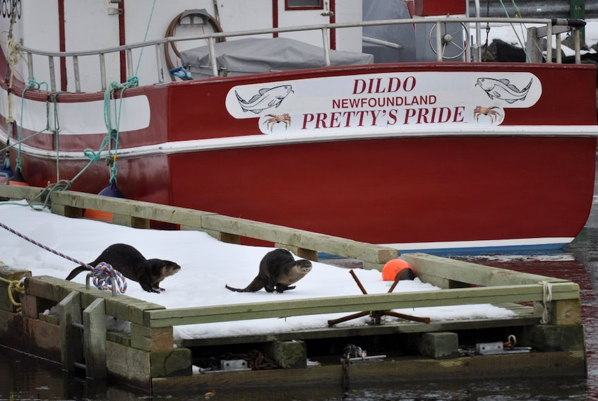 """Marilyn Crotty and her friend were out on a walk when she saw these playful otters at the marina in Dildo, N.L. She wrote, """"We noticed the two otters playing in the water then they decided to climb up onto the wharf. They stayed around all morning. We have seen a few seals around the area as well."""" Thank you for sharing, Marilyn."""