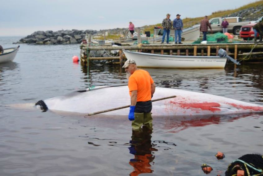 The Minke whale was pulled to the wharf by rope and truck, and then brought out into deeper water by boat.