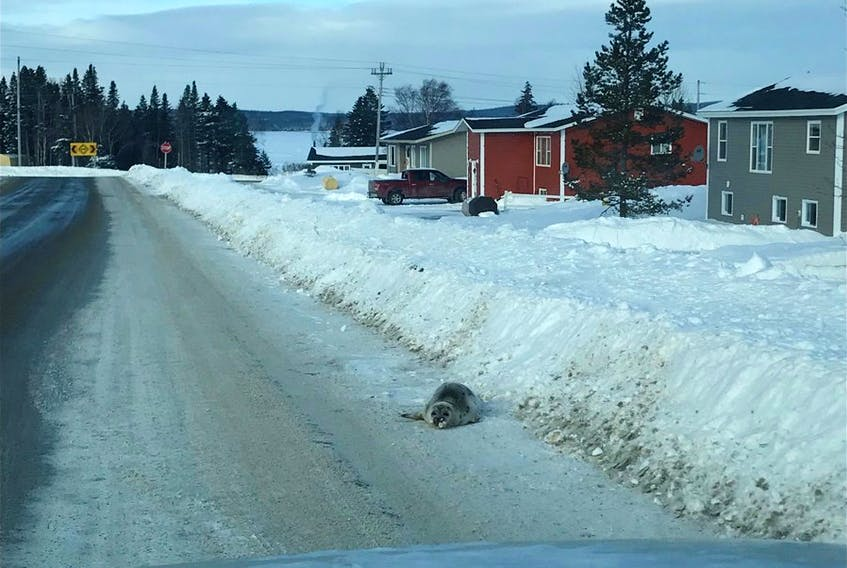 A seal sighted along a road in Roddickton-Bide Arm. - Photo courtesy of Brendon Fitzpatrick