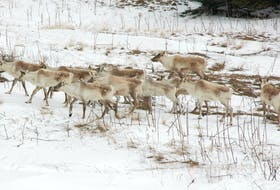 Caribou on the Great Northern Peninsula. The animal will be reintroduced to the Grey Islands located off the eastern side of the peninsula.