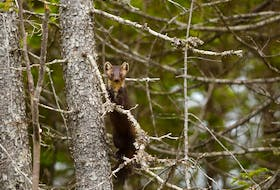 The Newfoundland marten is recovering in Gros Morne National Park, up from a handful of animals in the early 2000s to between 25 and 35 today.