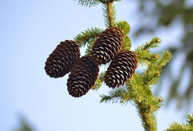 Many of you have noticed an abundance of pinecones this fall.  These little marvels of nature helped Grandma predict the weather for the coming winter. Look around and let me know what you see in your area.