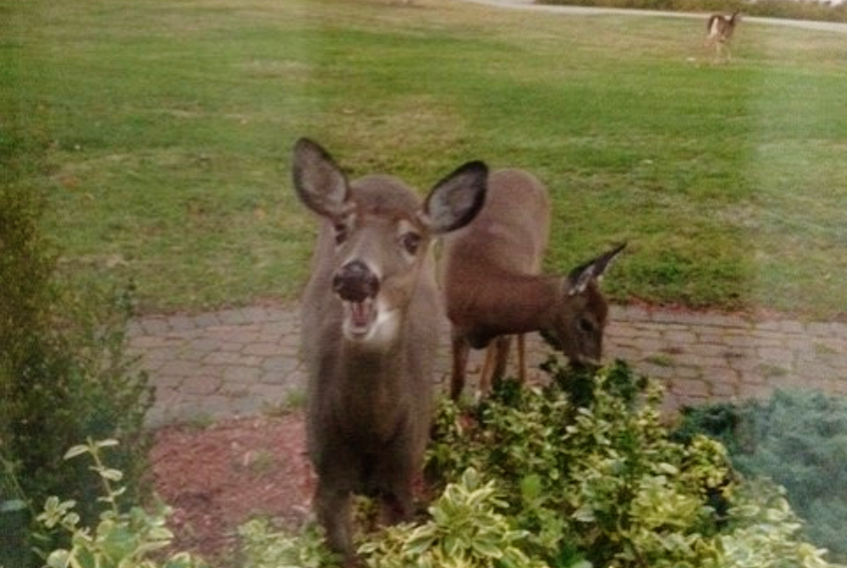 Many of us had company over during Thanksgiving weekend.  Eleanor Publicover's curious visitors stayed a while longer; this was the scene outside her kitchen window Tuesday morning.  Eleanor lives on the picturesque Aspotogan Peninsula, in Blandford, N.S.