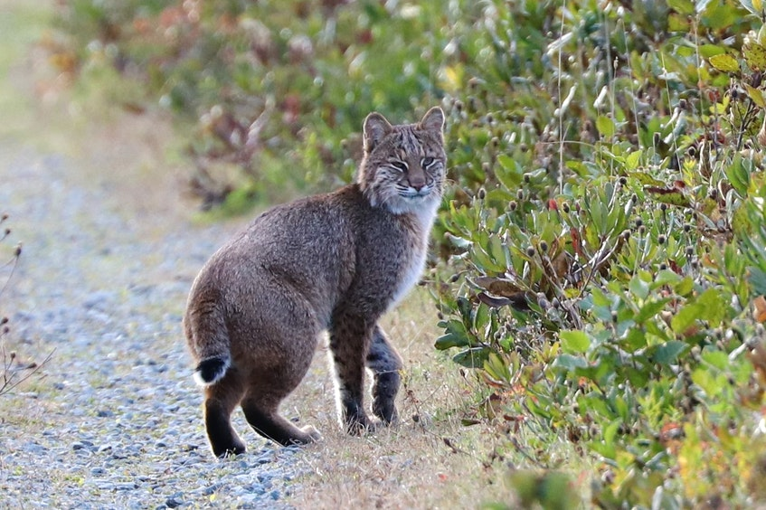 Jim Edsall was birding at Hartlen Point in Eastern Passage, when he snapped this photo of a bobcat. - Contributed