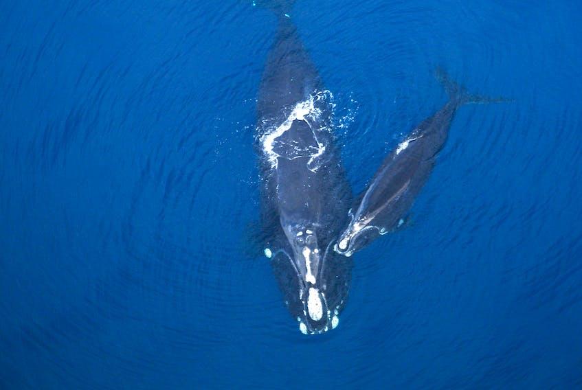 North Atlantic Right Whales. Jessica Taylor/New England Aquarium photo.
