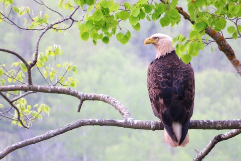 Bald Eagle perched above the Antigonish Harbour