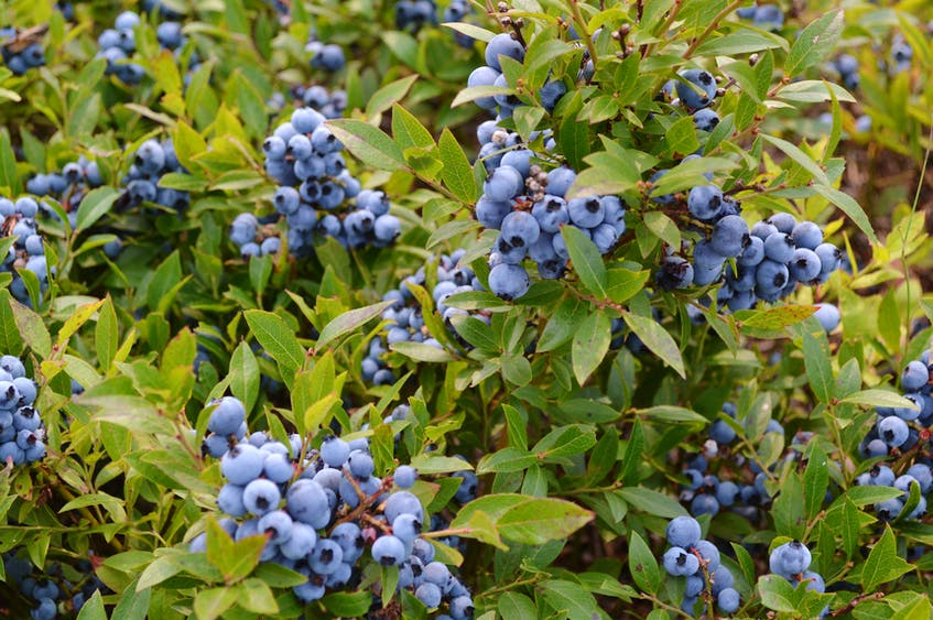 The Wild Blueberry Producers Association of Nova Scotia has a positive outlook for its members.  - Eric McCarthy