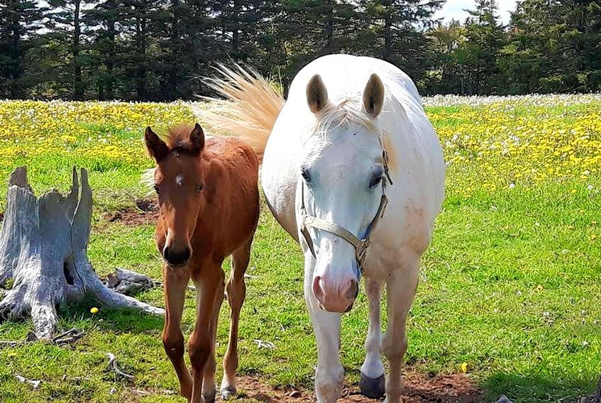 Tantum, right, took on the role of foster mom to Anne with an 'E' six months ago when the filly was orphaned shortly after birth. Jasmine Bastarache/Special to The Guardian