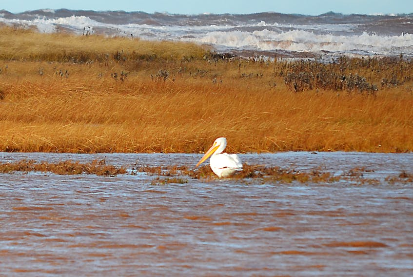 An American white pelican in Black Pond, Pleasant View on Thursday. The bird, although rare to P.E.I. was first sighted Wednesday. It appears in no great hurry to join its kin in a more southerly climate. - Eric McCarthy