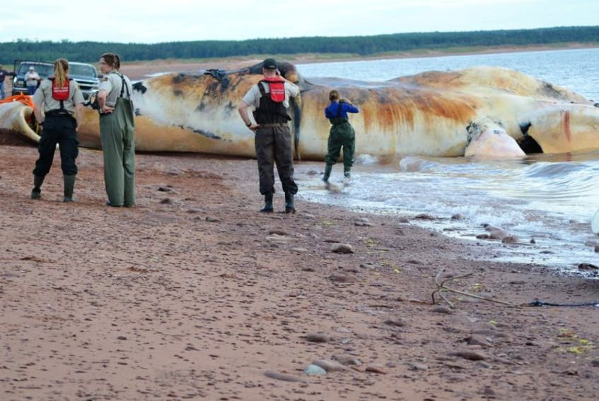 Fisheries and Oceans personnel, experts and the curious were on scene to observe as the first of the dead North Atlantic right whales  to be necropsied was pulled onto the Phee Shore beach in Norway last week.