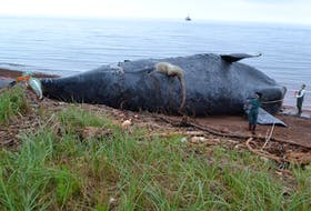 A visual examination of Comet, the North Atlantic right whale that was brought to shore at Norway, P.E.I. on Friday, is carried out prior to a necropsy being performed on the 34-year-old whale. Preliminary findings are suggesting the whale died from blunt trauma.