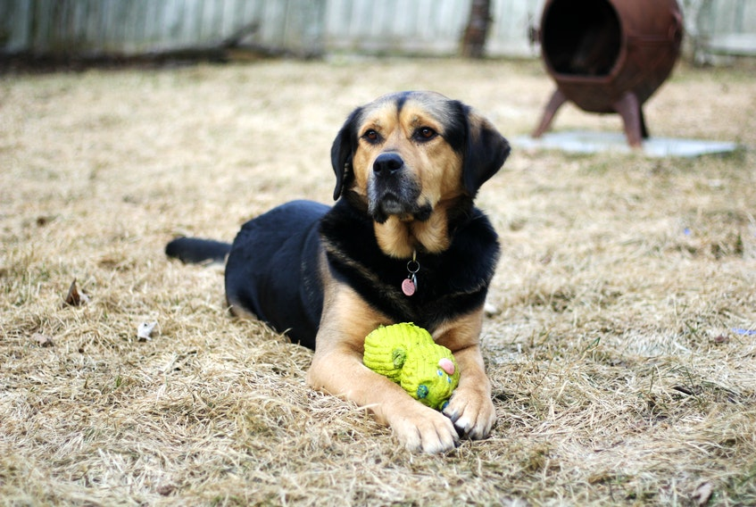 Moses, who was seized from a home in C.B.S. by humane services officers and treated for injuries a provincial court judge ruled were the result of cruelty by his previous owner, nowleads a life of leisure with his new master in St. John's.