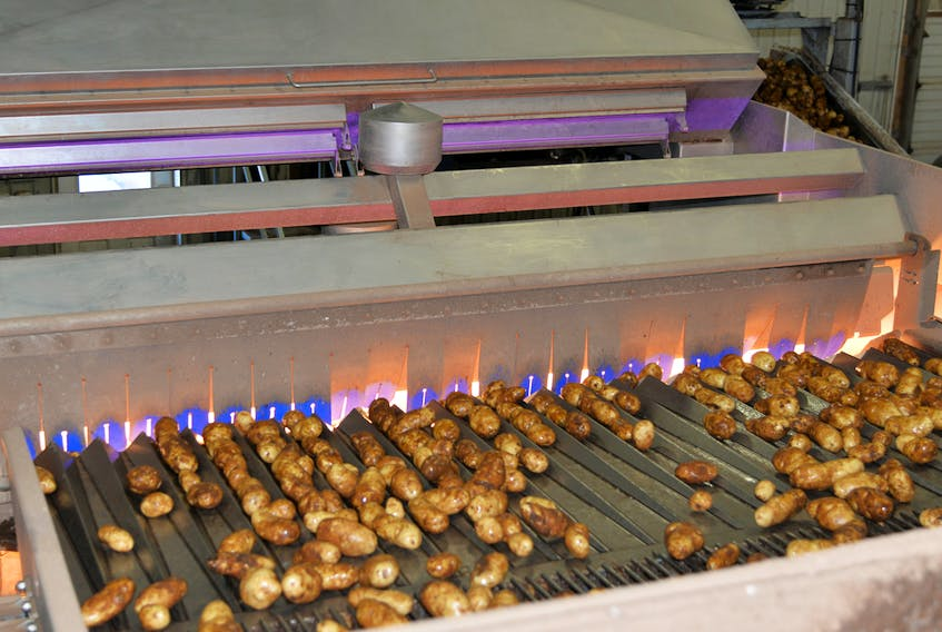 A conveyor belt takes potatoes into the $1.1 million chemical imaging machine to be inspected for foreign objects or defects, such as surface scabs or rot.  TERRENCE MCEACHERN/THE GUARDIAN