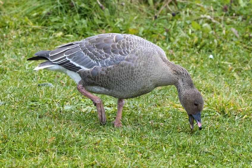 A lost pink-footed goose finds a temporary refuge on the side of the Signal Hill road in St. John's.