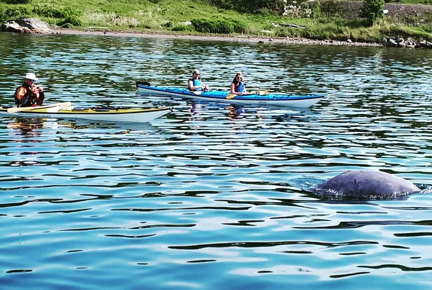 Kayaking tours in Hatchet Cove had a special guest participating in their activities. A baby beluga whale — nicknamed by the residents Sammy Beluga — first appeared in the harbour in early July and remained there into mid-August before moving on.