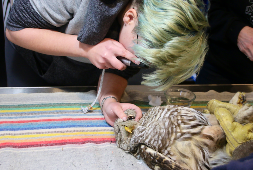Dr. Kathleen MacAulay, a volunteer with the Cobequid Wildlife Rehabilitation Centre, examines a barred owl who was struck by a car. The centre is currently caring for several owls who were hit by vehicles.