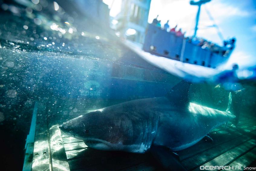 Ocearch research team named a great white shark tagged off Nova Scotia Unama'ki