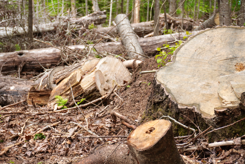 Fallen trees scatter the ground along Balsam Hollow Trail in Cavendish.
