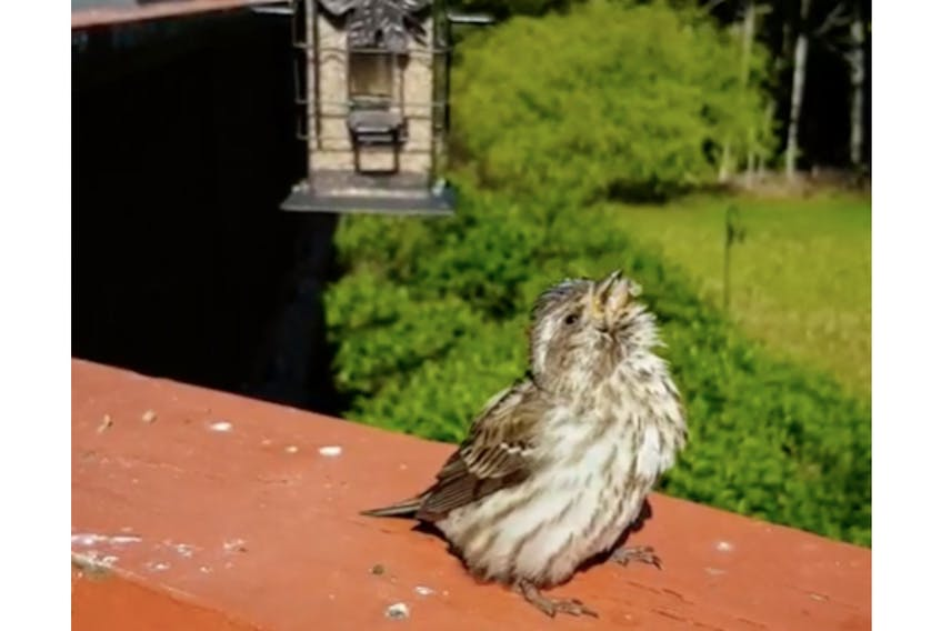This female purple finch exhibits classic signs of trichomonosis in song birds, including difficulty swallowing, matted wet feathers and food particles around the face and the beak and ruffled feathers. - Canadian Wildlife Health Co-operative/Special to The Guardian