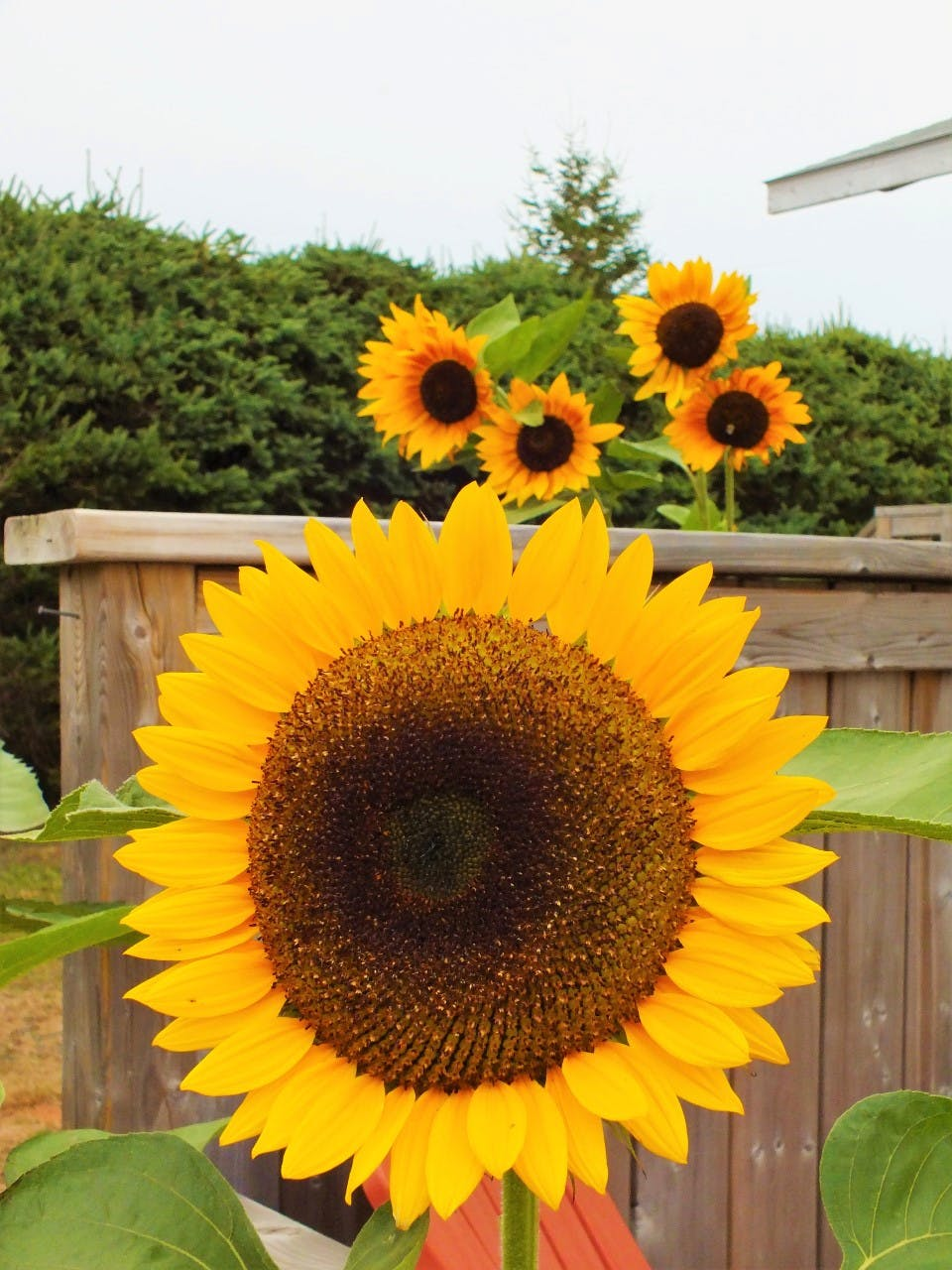 Susan McLean loves sunflowers so much that she grows them. How many sunflowers do you see in this photo taken in her yard in Darnley, P.E.I.?There are more flowers there than meet the eye. The iconic yellow petals and fuzzy brown centres are individual flowers themselves; as many as 2,000 can make up the classic sunflower bloom.