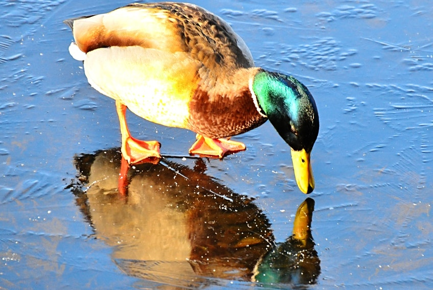 "Gerry Vrbensky was out for a walk at Russell Lake in Dartmouth, N.S., when he came across this mallard that kept looking at its reflection in the ice. ""He may be thinking to himself, ""You handsome devil, you""... I got a laugh watching him as it looks like something we may do."" Your photo is definitely an amusing way to start the week. Thank you, Gerry."