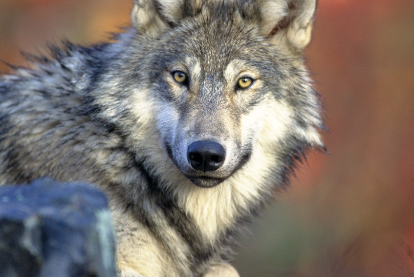 A recent hoax letter delivered to some mail boxes in Kings County said eight gray wolves like this one were re-introduced to Nova Scotia in August, but left their intended domain on the South Mountain and started eating livestock on the Valley floor in Kings County.