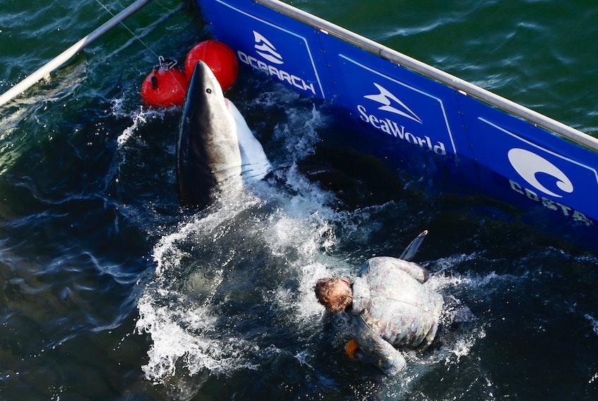 Ocearch fishing master Brett McBride wrangles a shark in the waters off West Ironbound Island on Oct. 3, 2019. - Tim Krochak