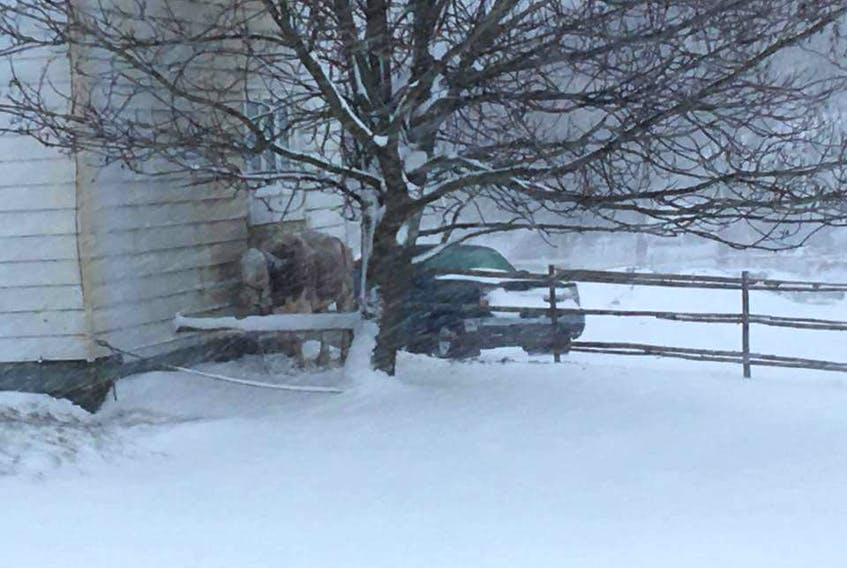 Torbay resident Renee Gosse took this snap of a cow outside in a residential yardin Torbay during Saturday's snowstorm and posted it to Facebook, calling for action to have the animal moved out of the weather. Her post has been shared close to 2,000 times, with people asking for the police, the town and the province to intervene.