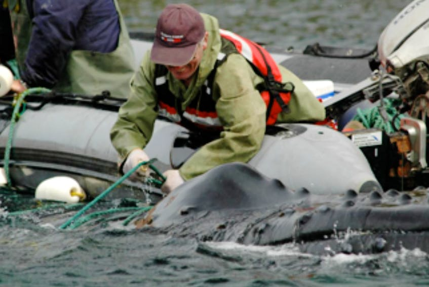 Wayne Ledwell of Whale Release and Strandings Group untangles rope from a humpback whale caught in a capelin trap in Bay de Verde in 2008.