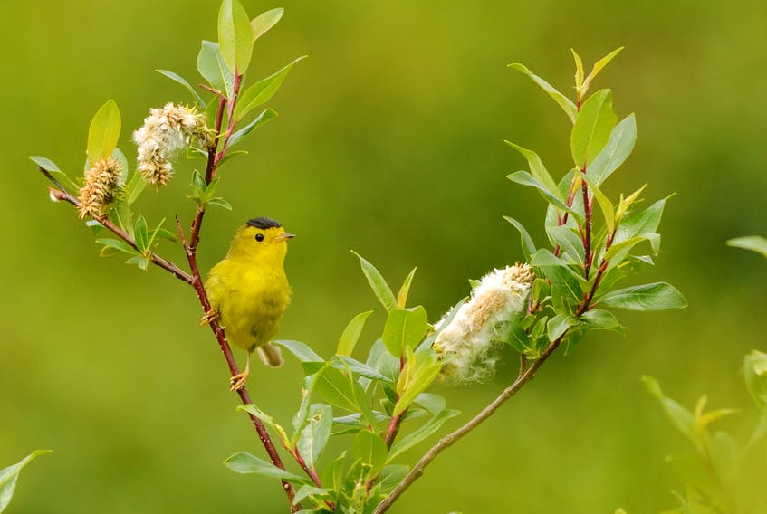 Over nine years, from 2008 to 2016, Parks Canada biologist Darroch Whitaker recorded 20 sitings of Wilson's warbler (Cardellina pusilla) in thickets in the Torngat Mountains.