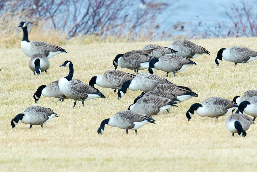 Bruce Mactavish photo — There were always one or two geese alert and watching for danger as the rest of the flock rummaged for food in the stubble of harvested hay field in the Codroy Valley.
