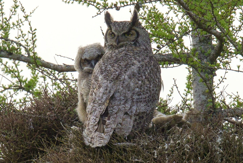 A young great horned owl peeks around the protective body of its mother at the human figure on the ground taking its picture in May 2015 in the Goulds. Note the pair of rabbit feet on the side of the nest left over from a meal for the owlet.