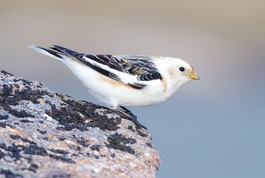 Snow buntings like this one at Cape Spear are migrating in force during April.