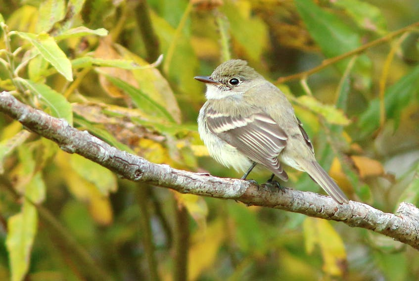 Jared Clark photo The mystery flycatcher, discovered near the Virginia River in St. John's.