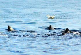 Seals cruise the surface of the water feeding on a school of herring.