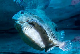 Cyclopterus lumpus, the lumpsucker or lumpfish, is a species of marine fish in the family Cyclopteridae. It lives on rocky bottoms in the North Atlantic and adjacent parts of the Arctic Ocean.