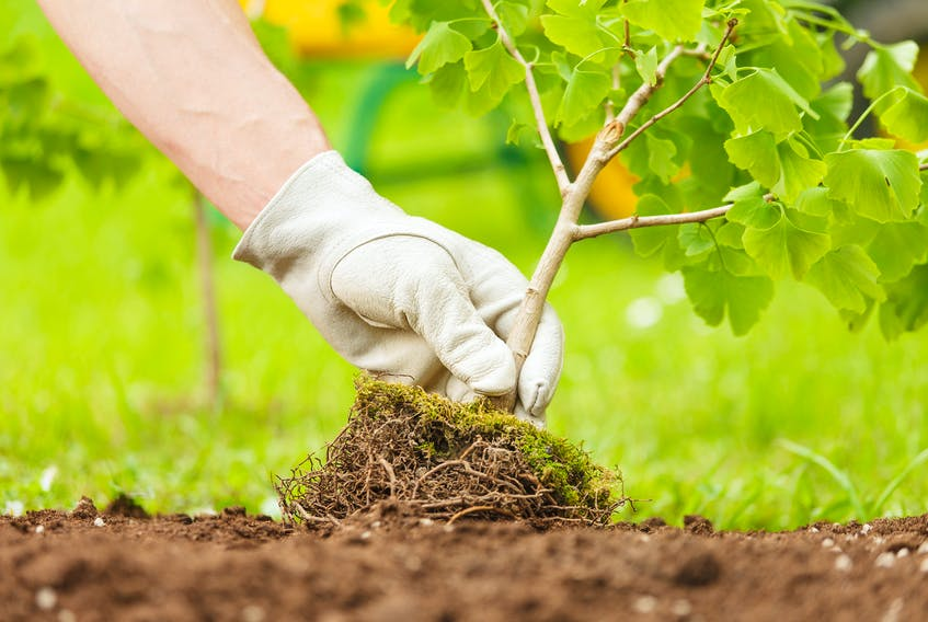 Many non-native species of trees do better in St. John's salt-laced soil than local varieties do. —