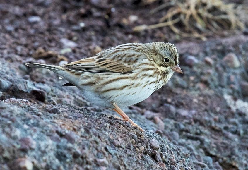 The pale sandy colour of this savannah sparrow at Cape Spear meant it was an Ipswich savannah sparrow all the way from Sable Island, Nova Scotia. — - Bruce Mactavish