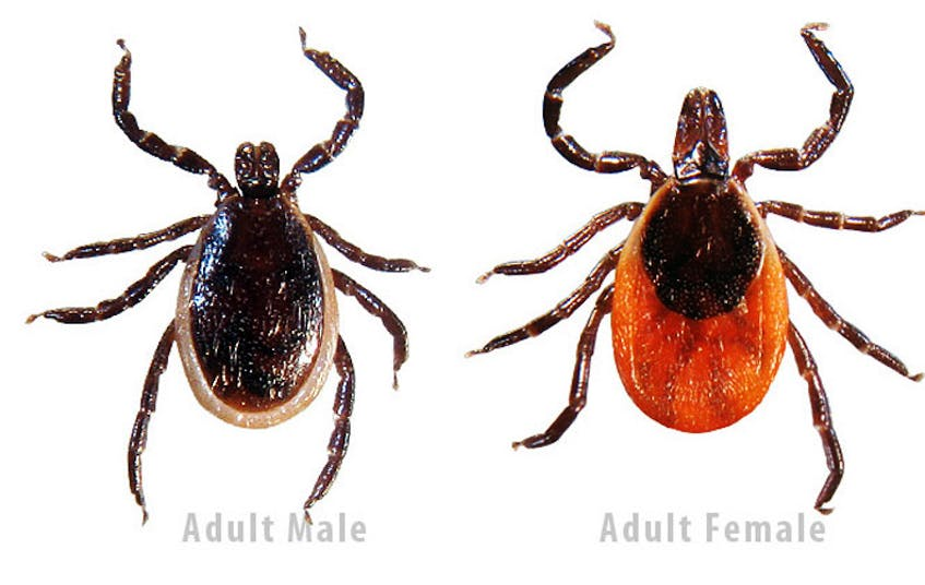 Deer ticks can infect people with Lyme disease. - File