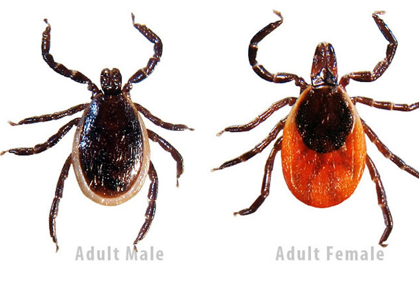 Deer ticks can infect people with Lyme disease, even in a province like P.E.I. where there are no deer. (File Photo)