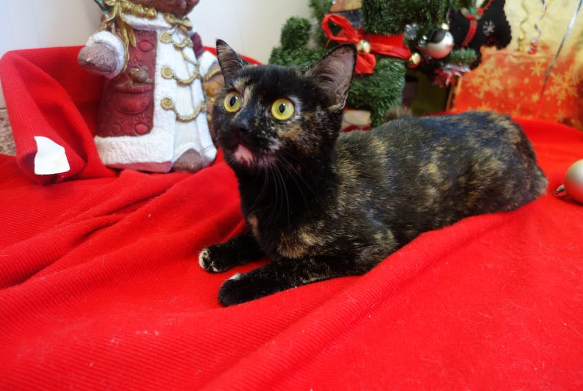 The ninth animal to be profiled in the 2017 edition of the 12 Strays of Christmas is Anastasia, a polite two-year-old tortoiseshell cat. Jennifer Harkness/Special to The Guardian