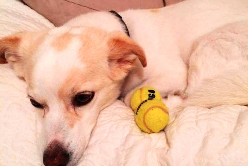 Ziggy, an 11-year-old mixed breed male dog, has been missing in the Corner Brook area since being startled by fireworks around 8 p.m. New Year's Eve.