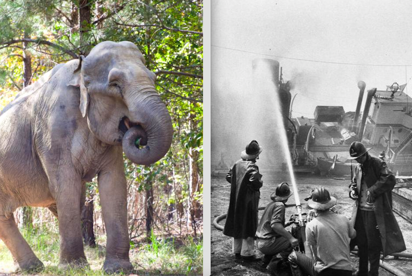 Shirley the elephant (left) during her years at The Elephant Sanctuary in Tennessee (Photo courtesy of the sanctuary). Shirley was a survivor of a 1963 circus ship fire in Yarmouth. She and other animals had to be rescued from the burning, sinking ship. (Right photo: Bob Brooks photo • Yarmouth County and Museum and Archives).
