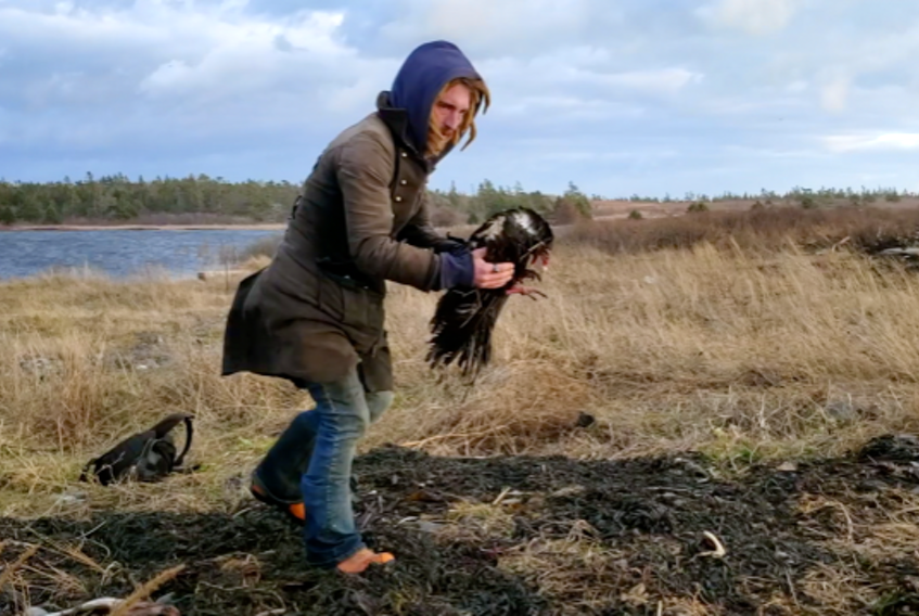 Jeff Gratto holds a turkey vulture he helped to rescue from beneath a grey seal on a Brier Island beach. Screen shot from Robert Galbraith video