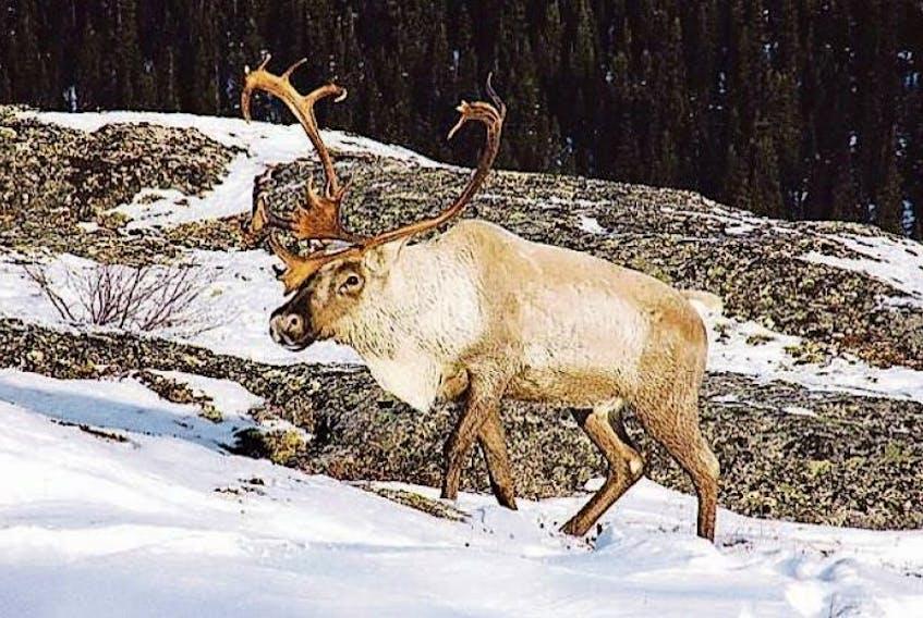 A Labrador woodland caribou is shown.