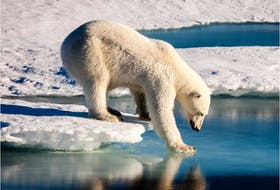 This handout file photo taken on August 22, 2015 and provided by the European Geosciences Union on September 13, 2016 shows a polar bear testing the strength of thin sea ice in the Arctic.