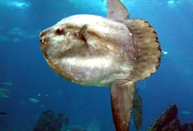 Mola Mola - contributed