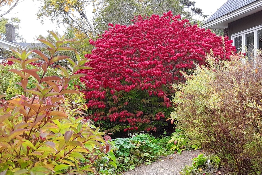 This burning bush is an inspiration this fall. Janice Wells photo