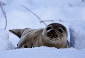 A harp seal - Photo courtesy of Ariom Eegam.