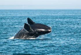 A North Atlantic right whale breaches in the Bay of Fundy. NICK HAWKINS/